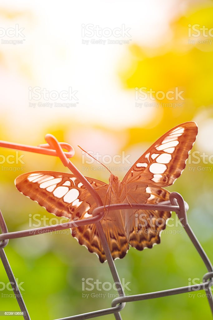 Beautiful Thai Tiger Butterfly Spread Wing stock photo