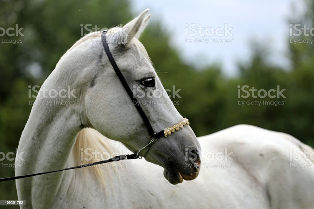 Beautiful thoroughbred horse head at farm against natural backgr stock photo