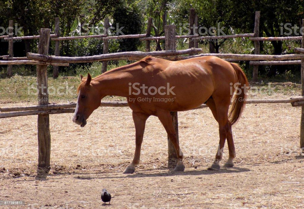 Beautiful thoroughbred redhead stallion stock photo