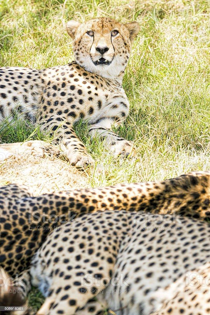 Beautiful three Cheetahs - resting and confused at shadow royalty-free stock photo