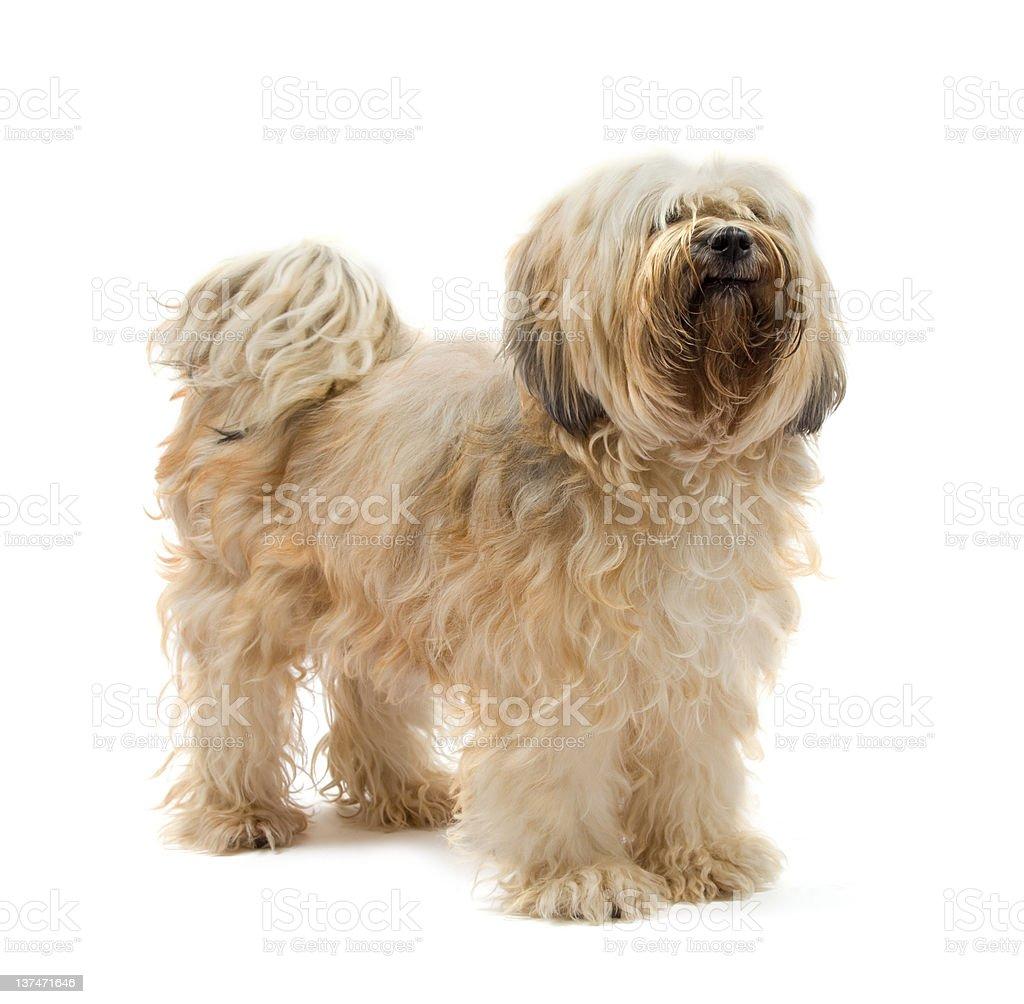 Beautiful Tibetan Terrier bitch stock photo