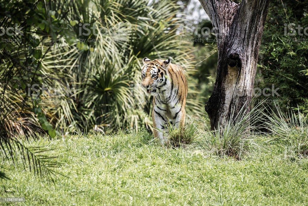Beautiful Tiger royalty-free stock photo