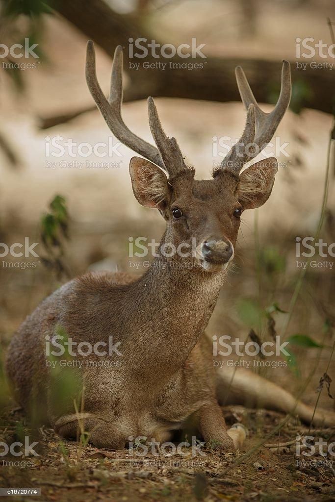 Beautiful timor deer from komodo island stock photo