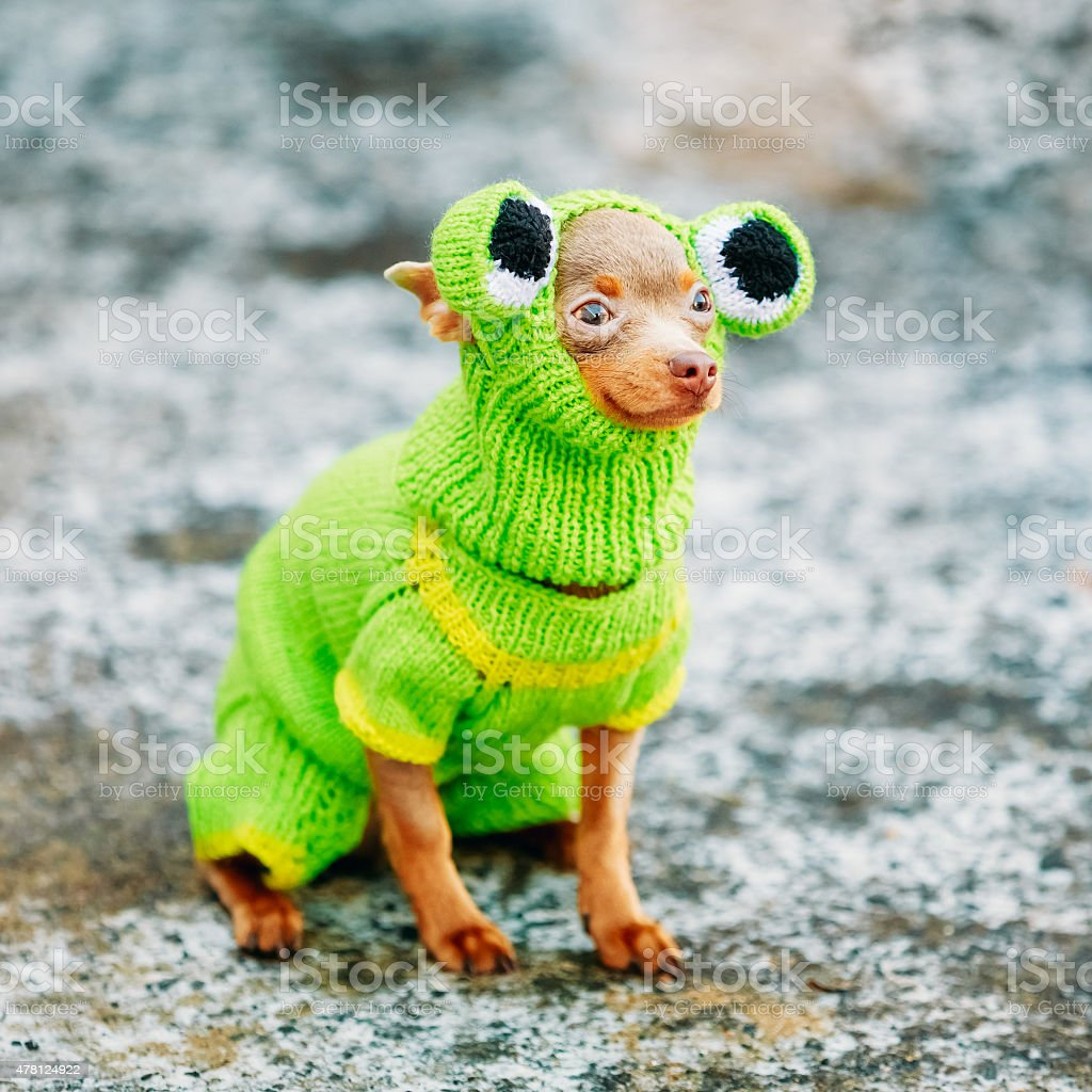 Beautiful Tiny Chihuahua Dog Dressed Up In Frog Outfit, Staying stock photo