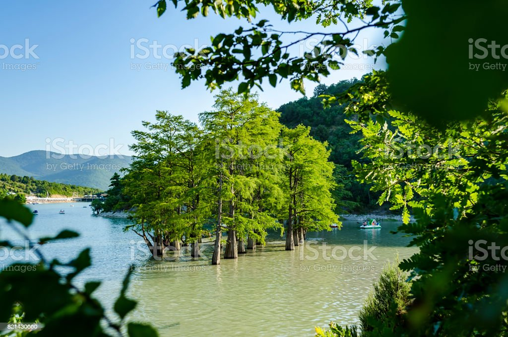 Beautiful tiny grove of bald cypress trees growing in lake water. Scenic summer blue sky landscape. stock photo