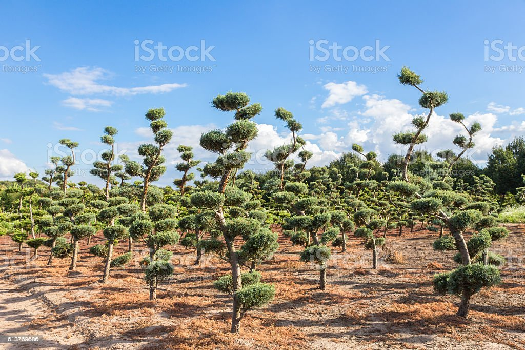 Beautiful topiary shapes in conifers stock photo