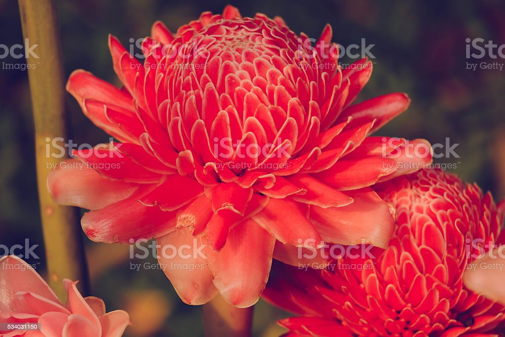 beautiful Torch Ginger blossom, stock photo