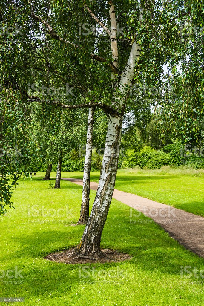 Beautiful trees beside a footpath in summer stock photo