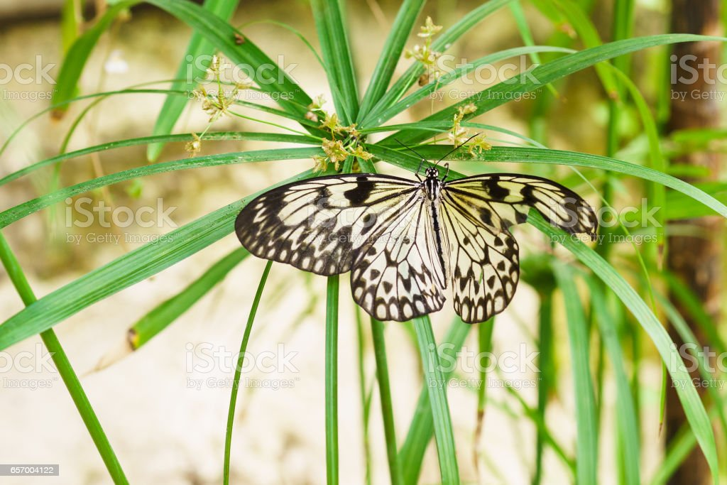 Beautiful tropical butterfly Idea white (Rice paper) or wood Nymph (lat. Idea leuconoe) on the umbrella syt or Citalnika, or Cyperus stock photo