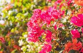 Beautiful tropical garden. The flowers of bougainvillea