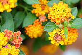 Beautiful tropical Lantana flowers.