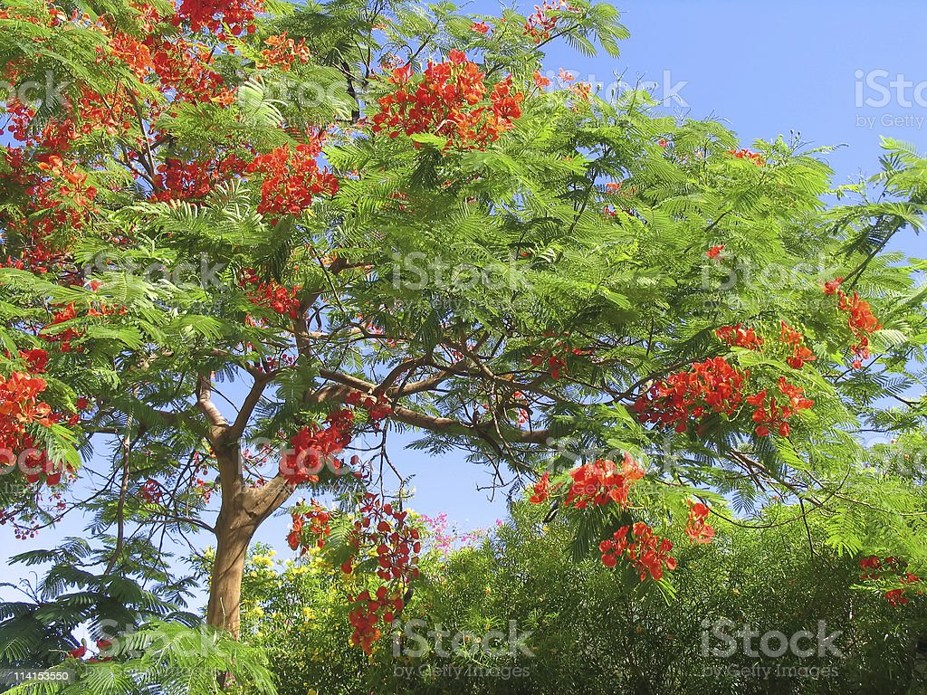 Beautiful tropical tree in blossom royalty-free stock photo