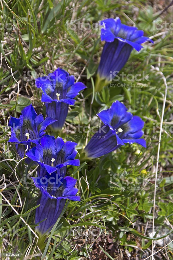 Beautiful Trumpet Gentian in the European Alps stock photo