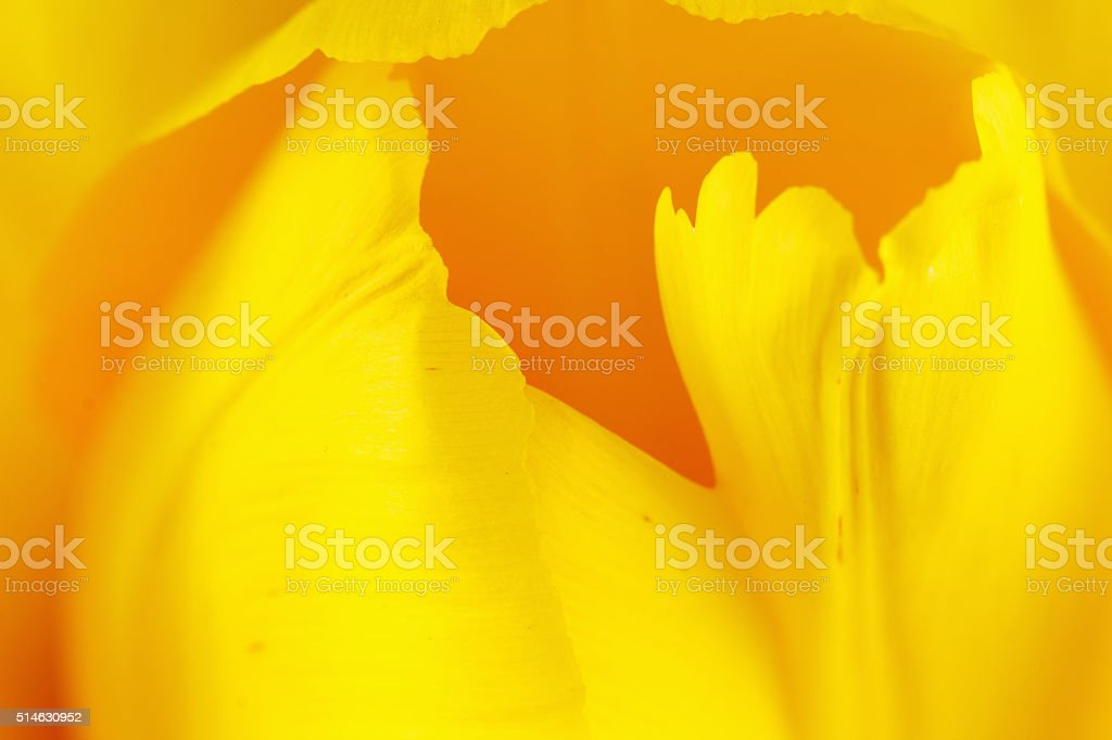 beautiful tulip close up stock photo