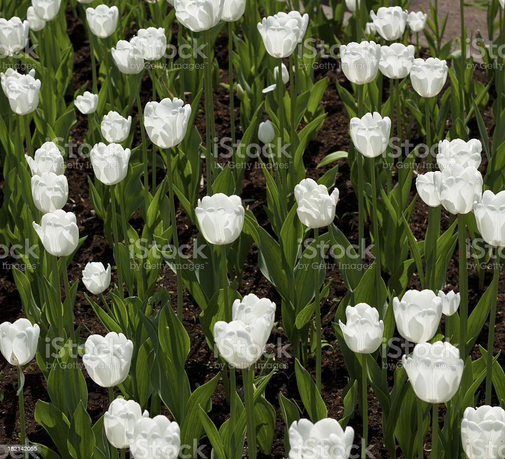 Beautiful tulip field royalty-free stock photo