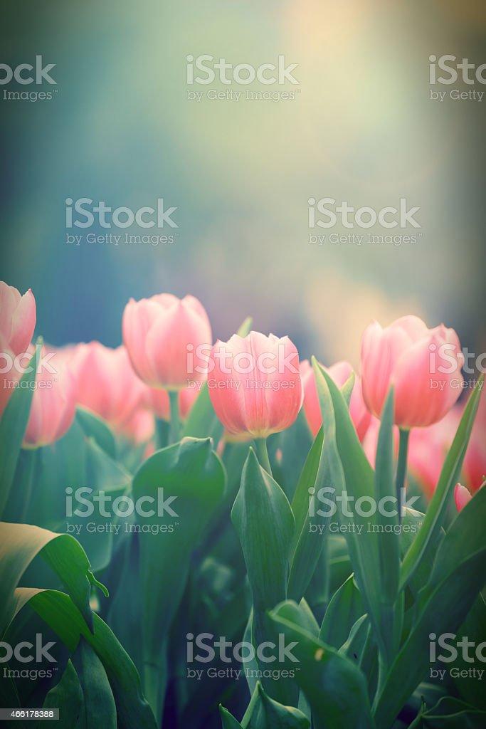 beautiful tulip flowers field stock photo