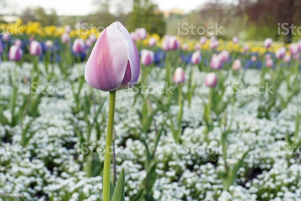 Beautiful tulip in flower bed royalty-free stock photo