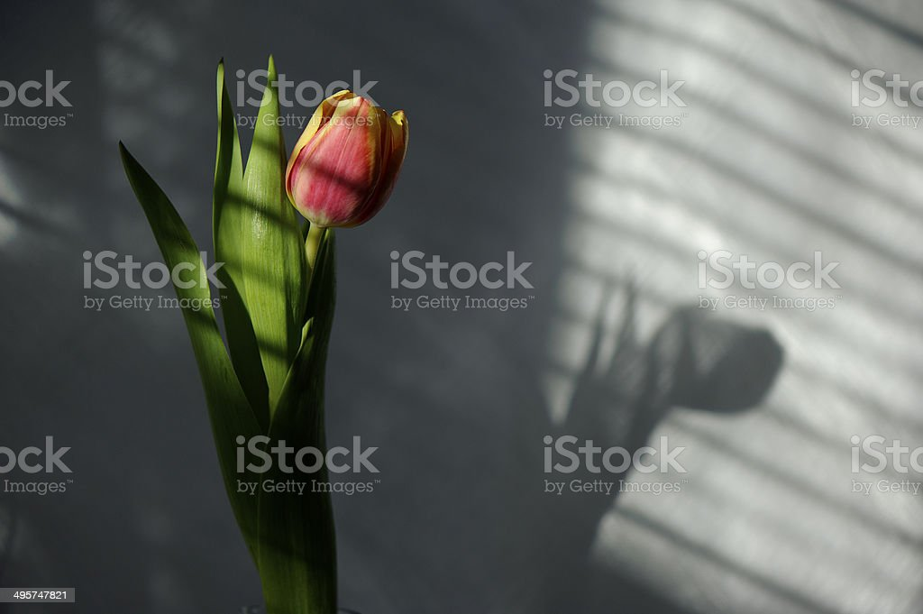 Beautiful tulip in striped shadow royalty-free stock photo