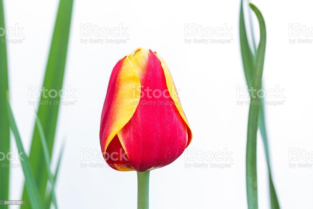 Beautiful Tulip Isolated on White stock photo
