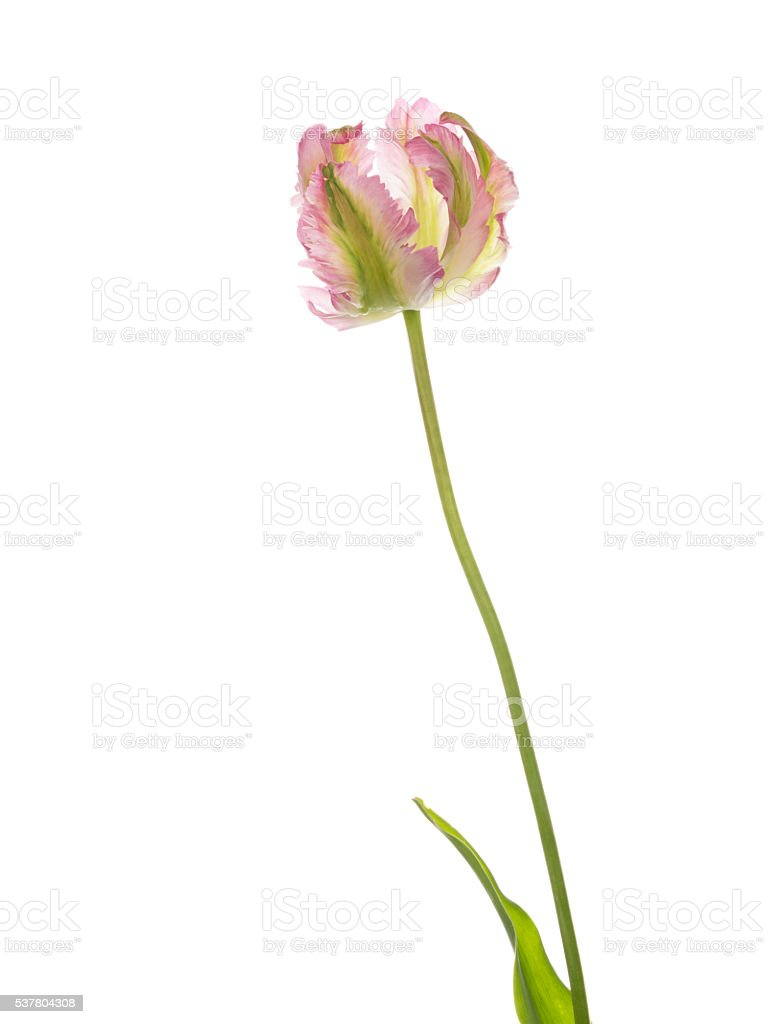 beautiful tulip on a white background stock photo