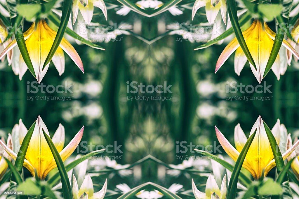 Beautiful Tulipa Tarda flowers macro surreal shaped symmetrical kaleidoscope stock photo
