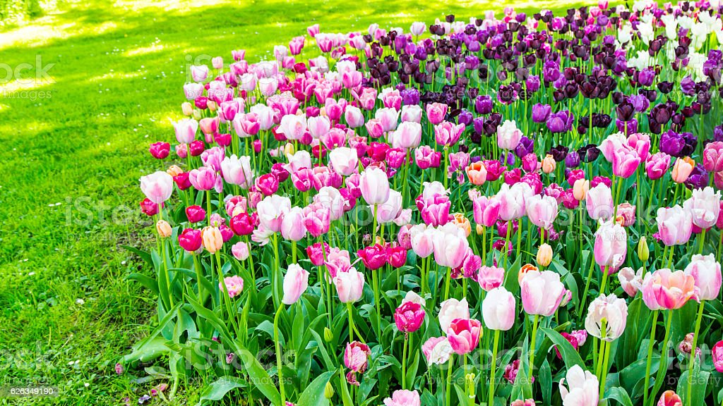 beautiful tulips background in summer time. stock photo