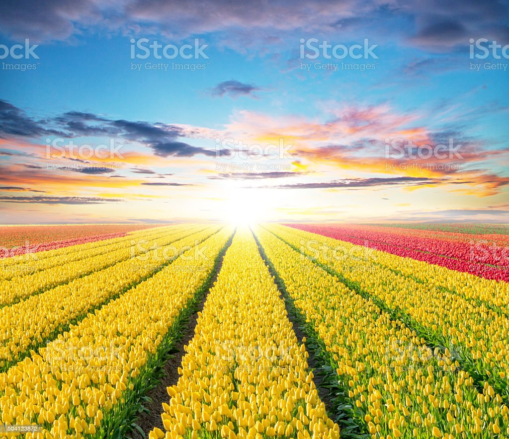 Beautiful tulips field in the Netherlands stock photo