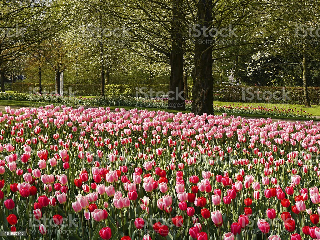 Beautiful tulips in a Park royalty-free stock photo