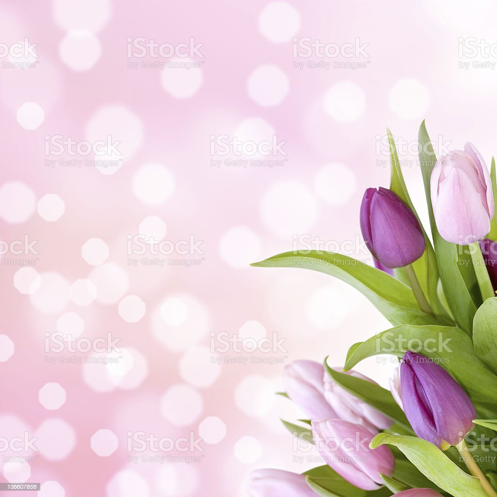 Beautiful tulips in purple stock photo