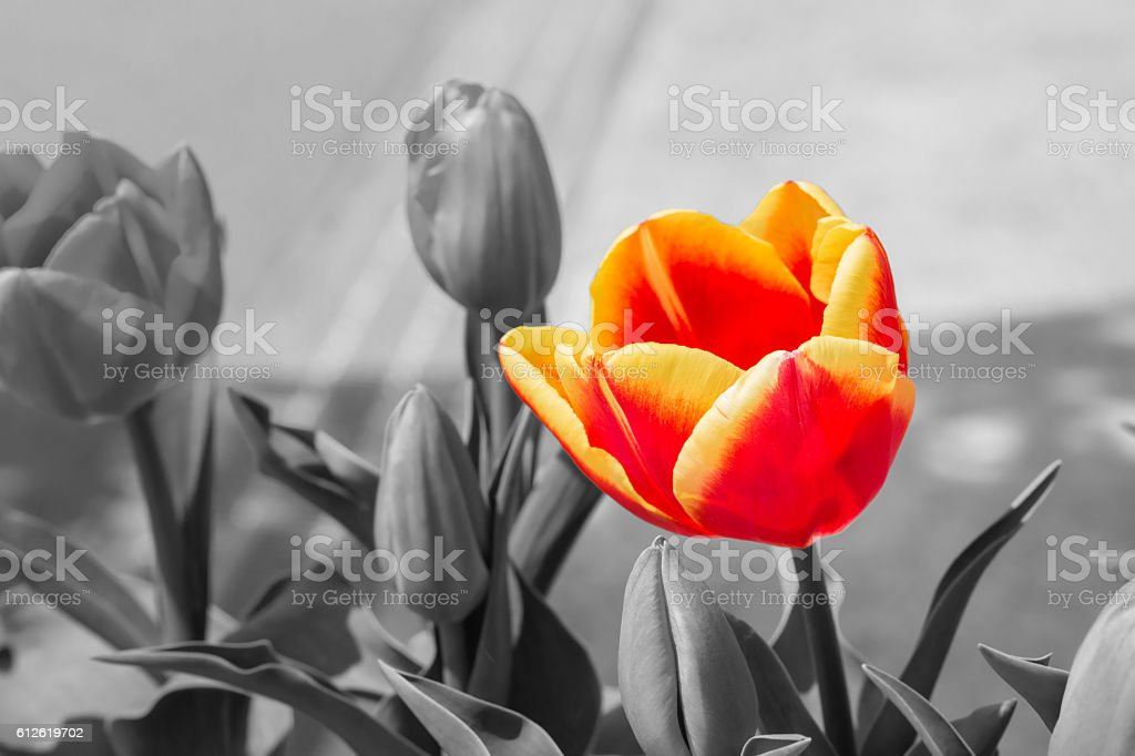 Beautiful tulips on black and white in different color concept. stock photo