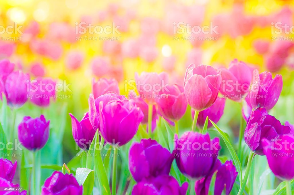 Beautiful tulips on green field stock photo
