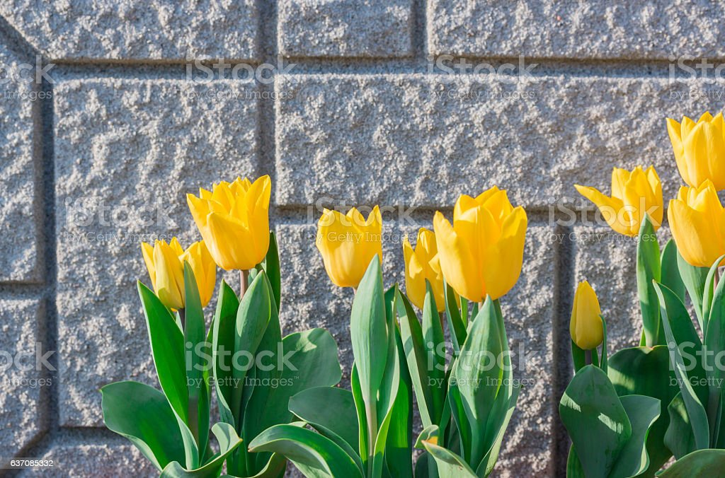 Beautiful tulips on the wall background. stock photo