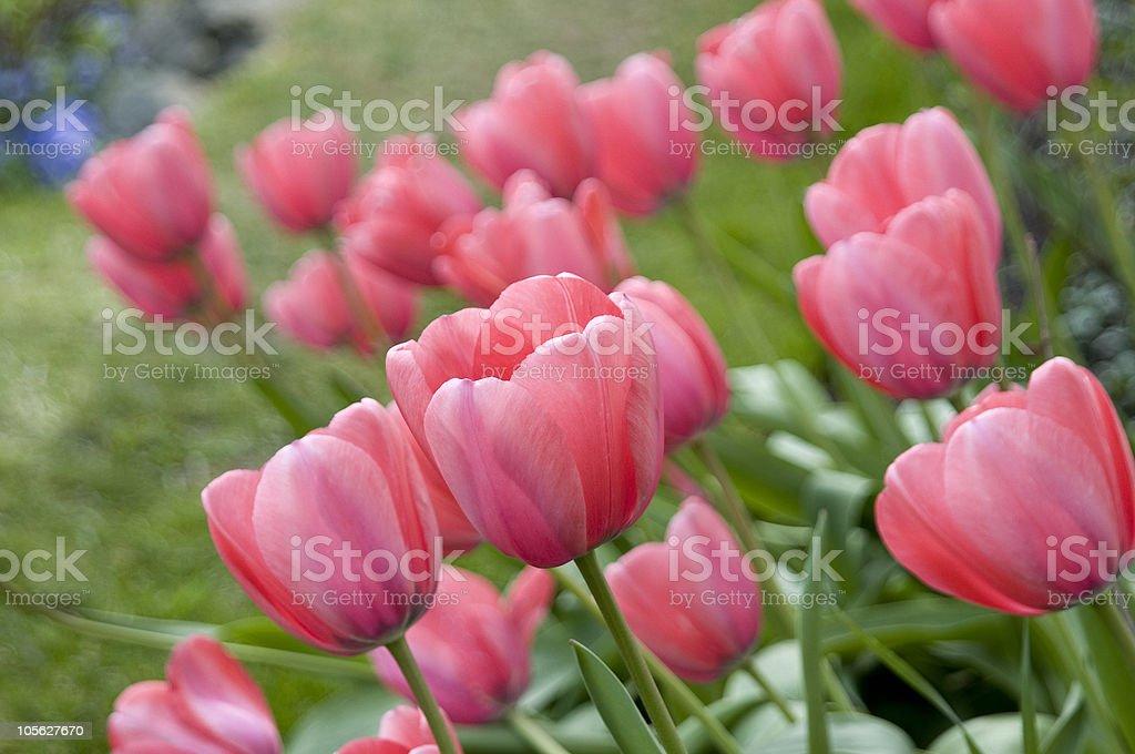 Hermosos tulipanes foto de stock libre de derechos