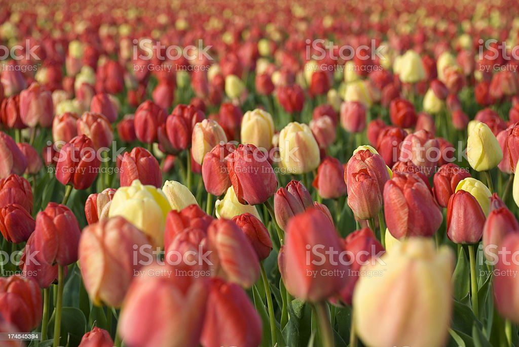 Beautiful Tulips royalty-free stock photo