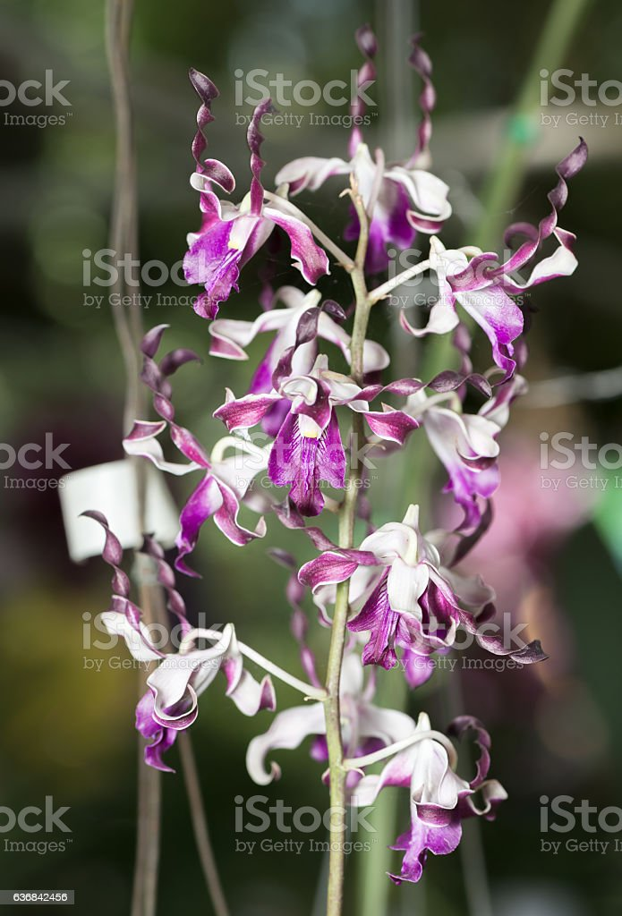 beautiful Twisted Dendrobium orchid flower stock photo