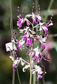 beautiful Twisted Dendrobium orchid flower
