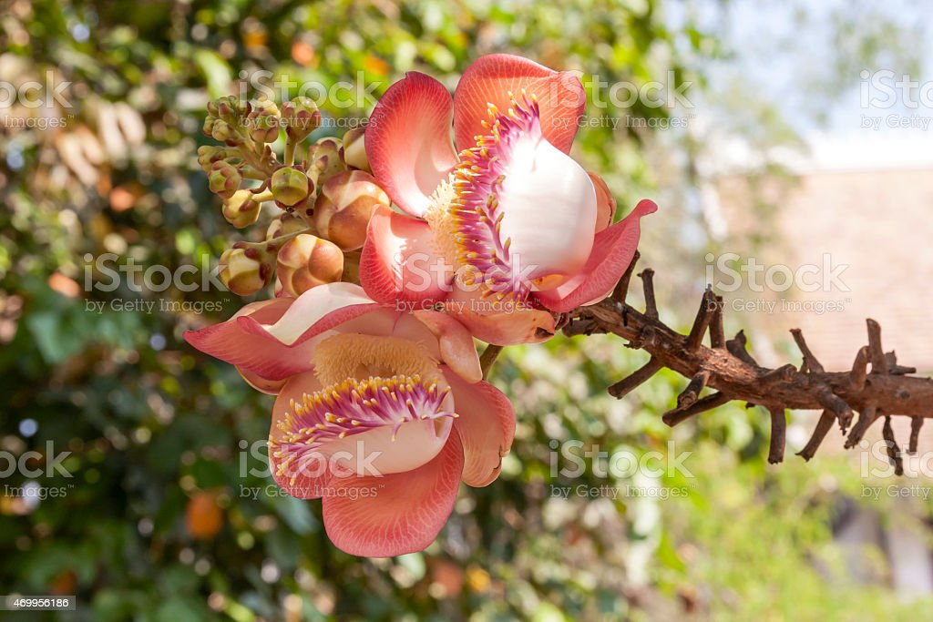 Beautiful two cannonball flower royalty-free stock photo