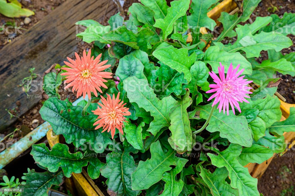 Beautiful two orange gerbera and one pink gerbera flower in garden. stock photo