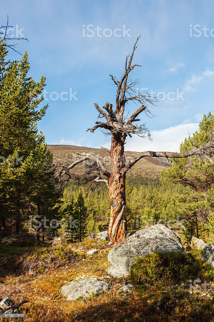 Beautiful untouched virgin forest with dead pine trees and lichen. stock photo