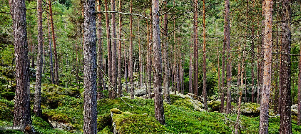 Beautiful untouched virgin forest with pine trees and lichen. royalty-free stock photo