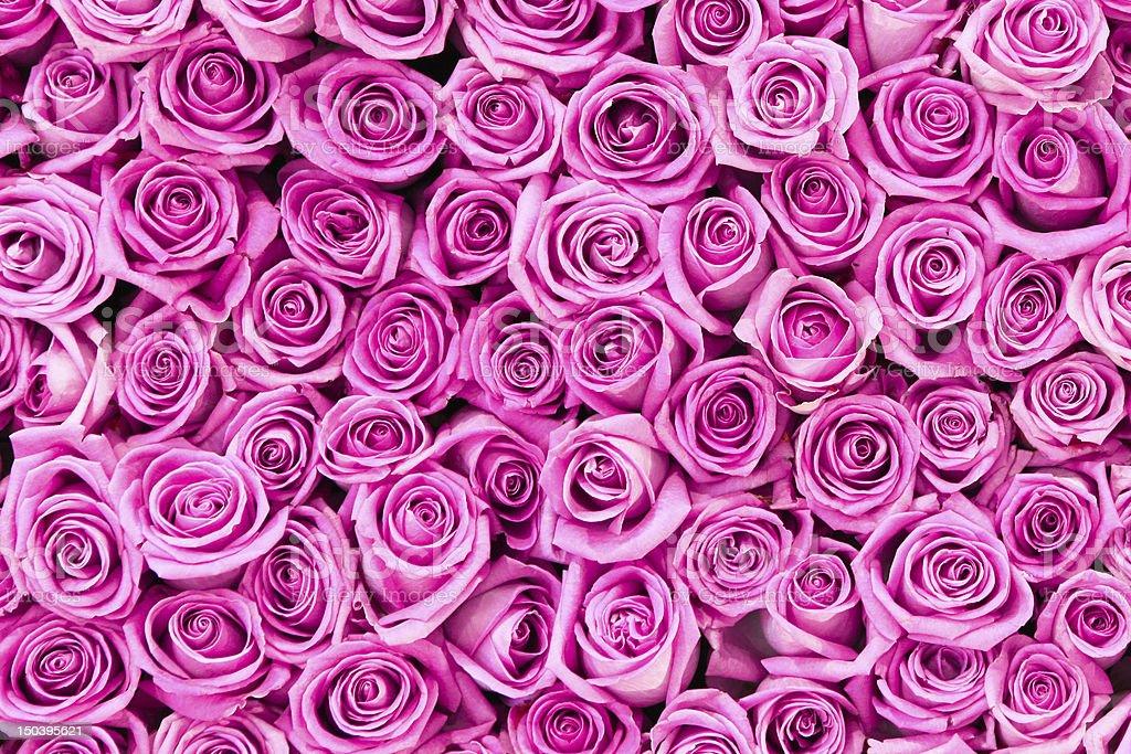 beautiful valentine pink rose flowers stock photo