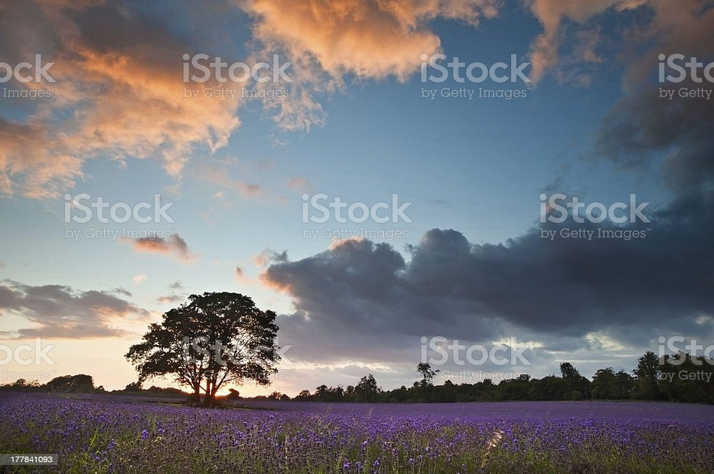 Beautiful vibrant colorful Summer sunest over lavender field royalty-free stock photo