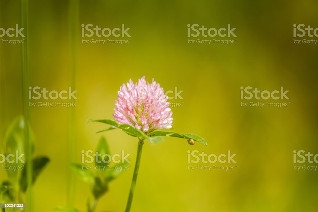 A beautiful, vibrant red clover flower in a meadow. Sunny summer day. stock photo