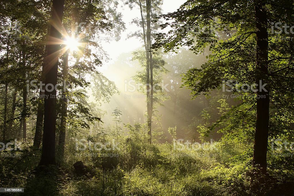 A beautiful view of a spring forest at dawn royalty-free stock photo