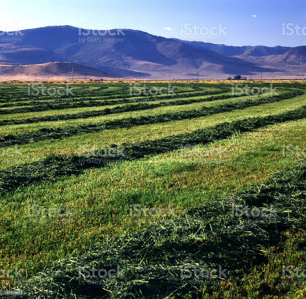 A beautiful view of alfalfa fields on a nice day stock photo