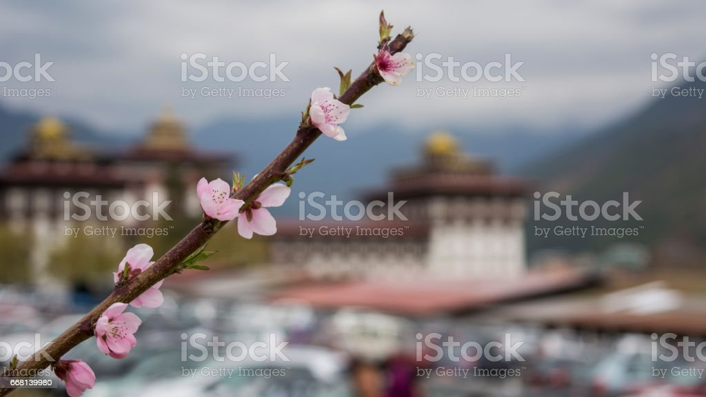 Beautiful view of Tashichho Dzong through cherry blossom flowers stock photo