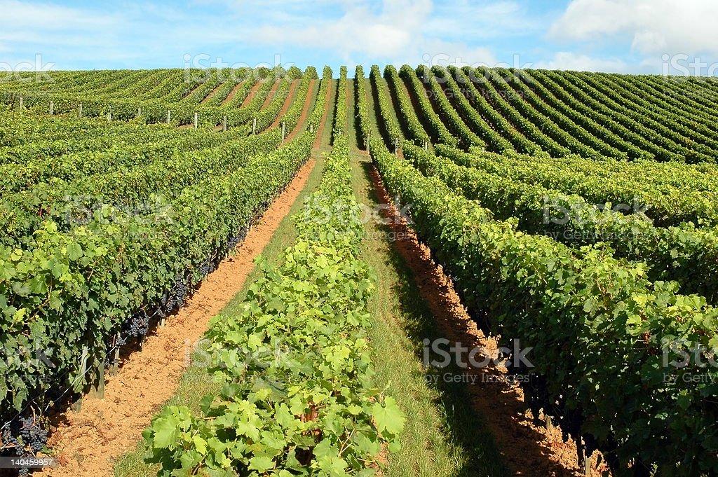 Beautiful vineyard in Matakana, New Zealand stock photo