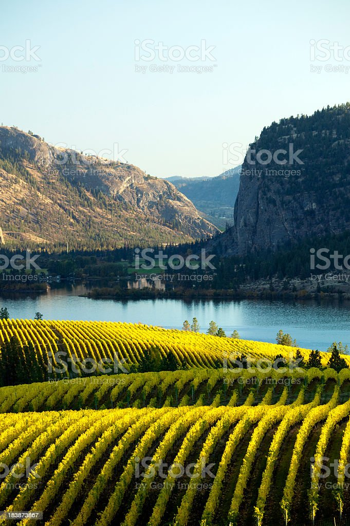 A beautiful vineyard in Okanagan Valley at McIntyre Bluff stock photo