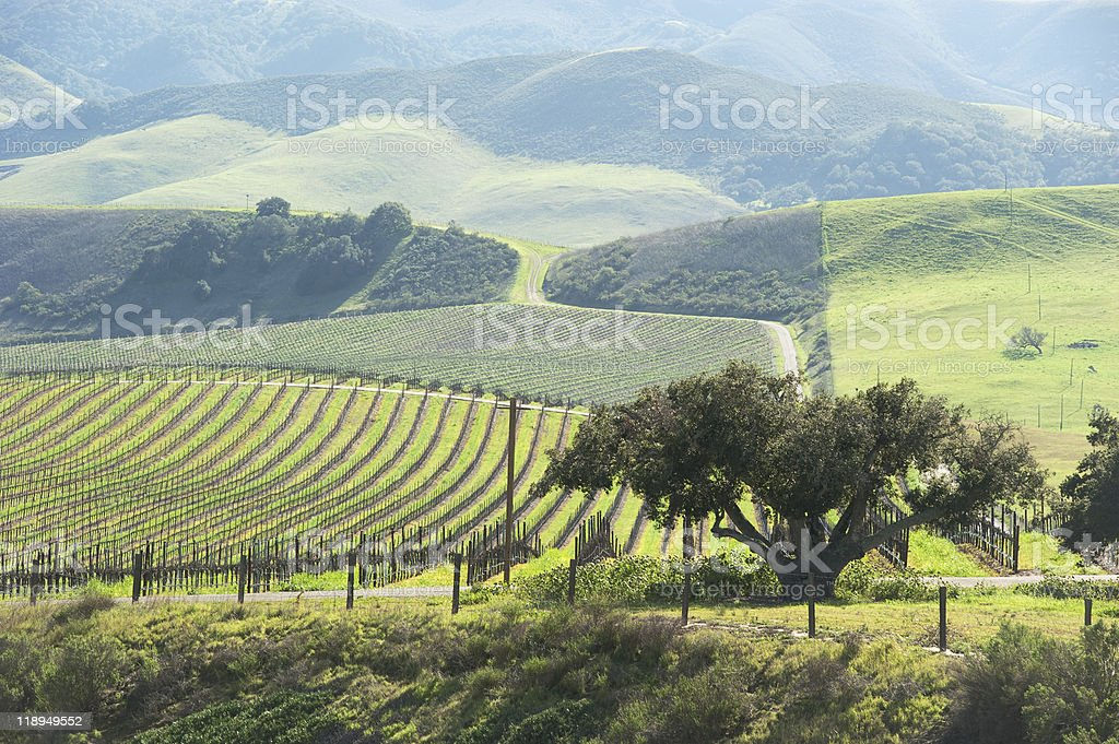 beautiful vineyard in the central coast stock photo