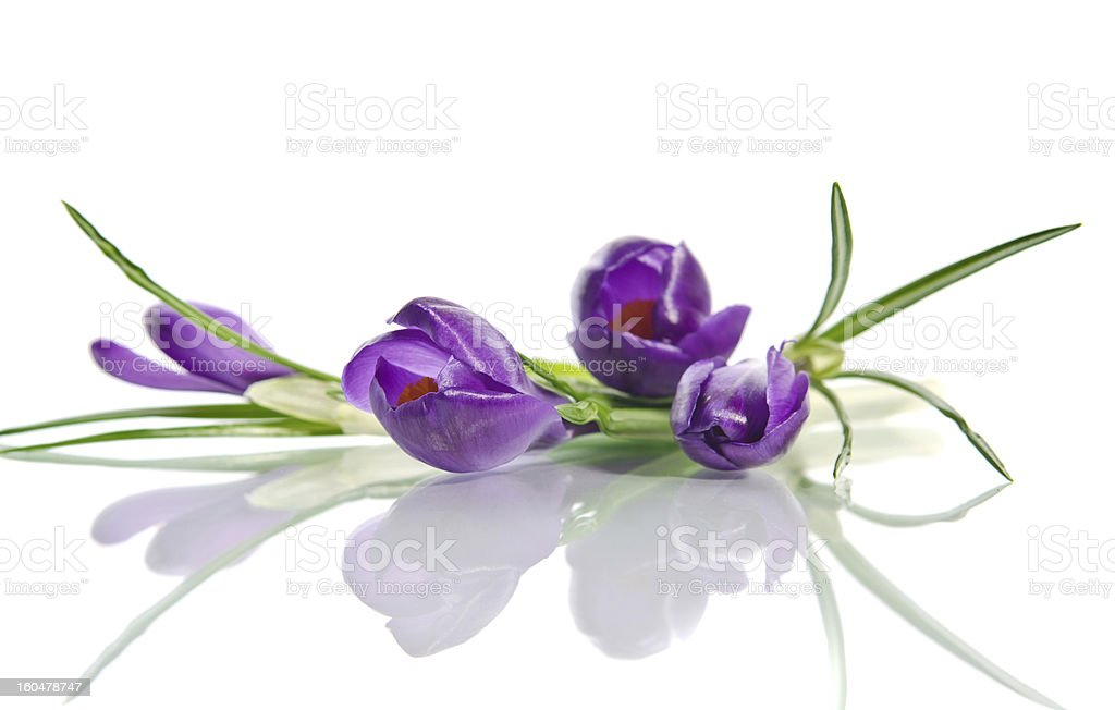 Beautiful violet crocus royalty-free stock photo